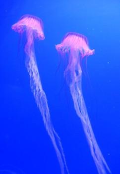 medusas grandes